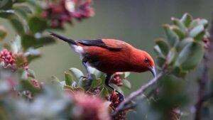 `Apapane (Himatione sanguinea) - Haleakala N.P., Maui, Hawai`iv