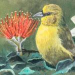 Sam Spork - ʻAmakihi